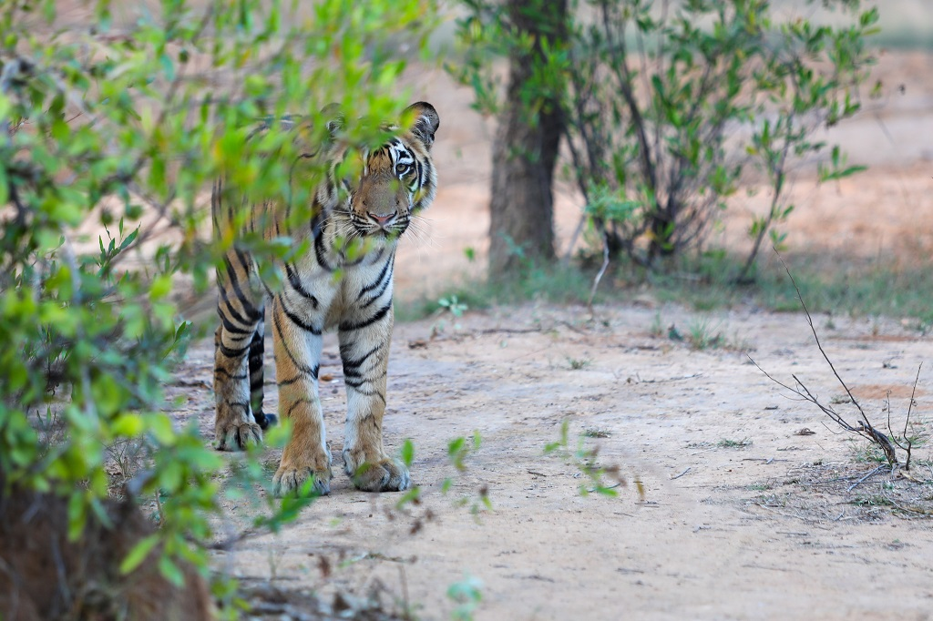 Tadoba Tiger Male Subadult watching intently