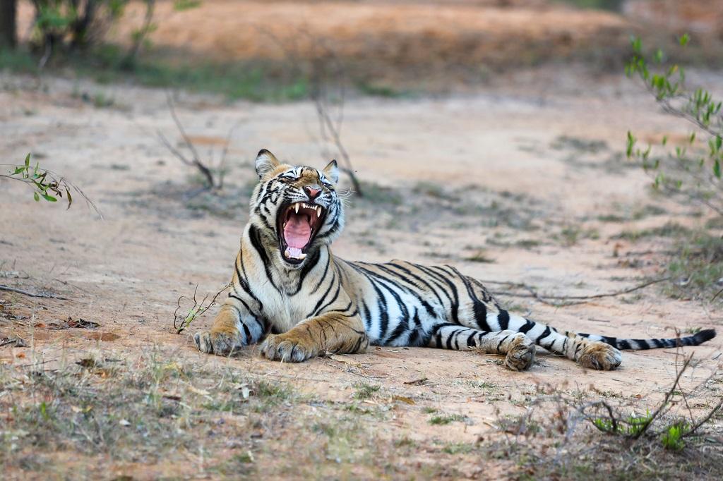 Tadoba Male Subadult Yawning