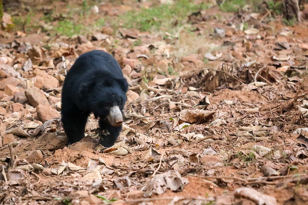 Tadoba Sloth Bear