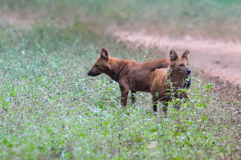 Nagzira Wild Dogs