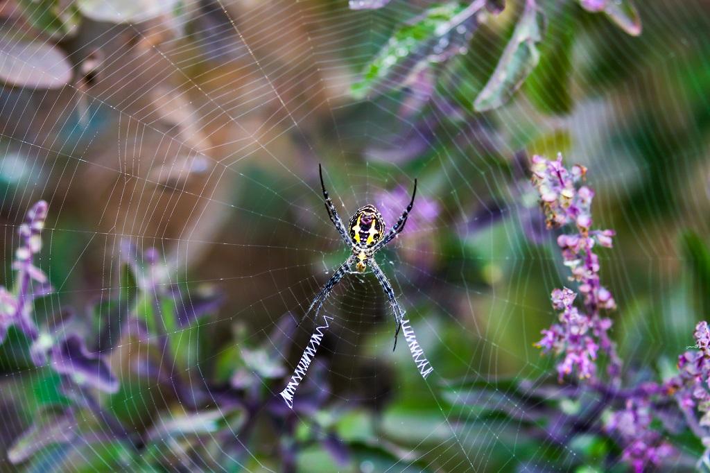Tadoba Signature Spider