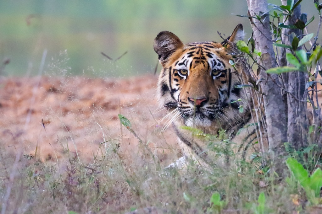 Tadoba Tiger Female Subadult
