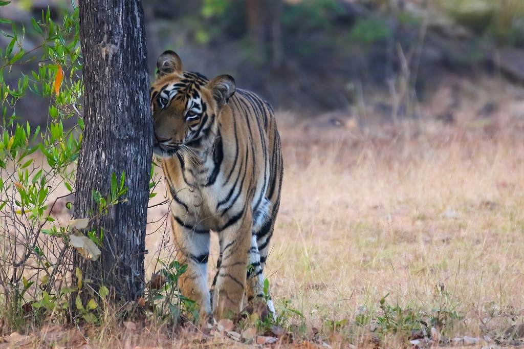 Tadoba Tiger Male Subadult