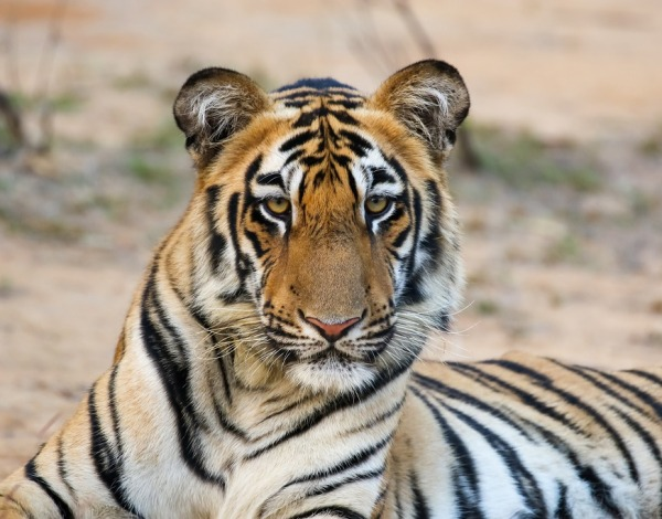 Tadoba & Nagzira – Winter Drive to the forests