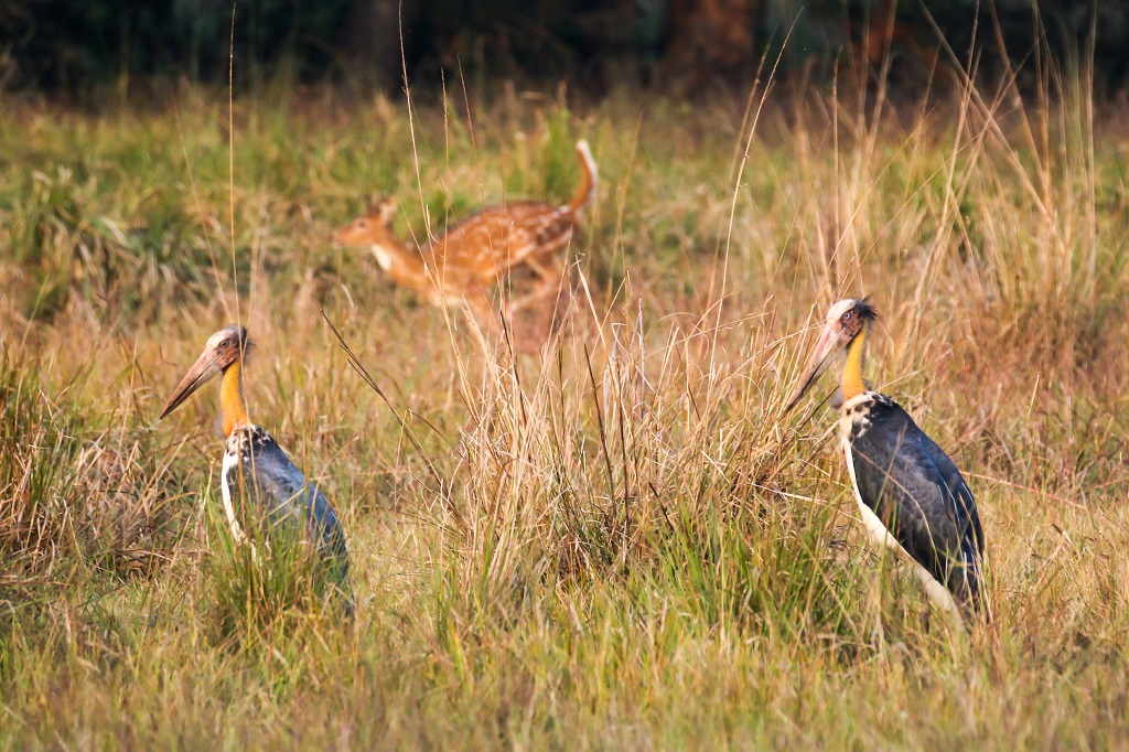 Tadoba Painted Stork and Spotted Deer