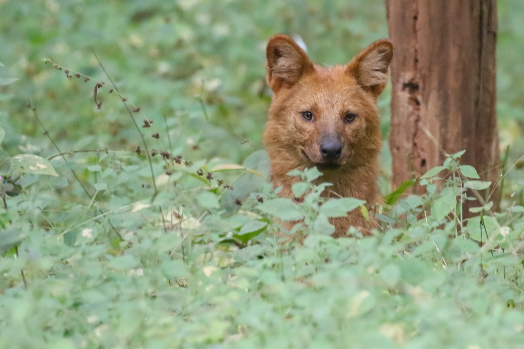 Nagzira Dhole Wild Dogs