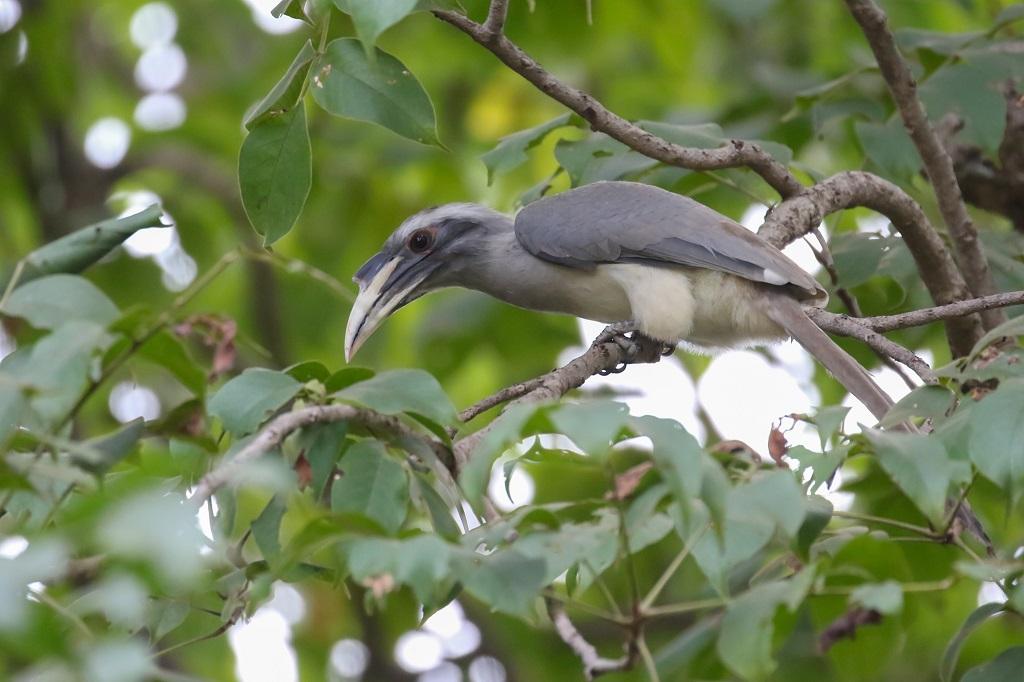 Nagzira Indiuan Grey Hornbill