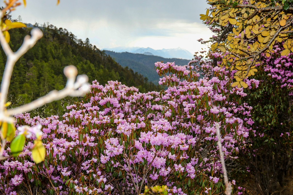 Hills full of Rhododendrons on the way