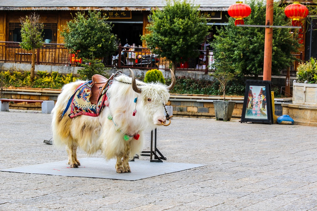 Decorated Yak in Shangri la square
