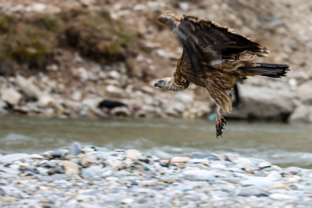 Himalayan Griffon Vultures beside the river outside Derge