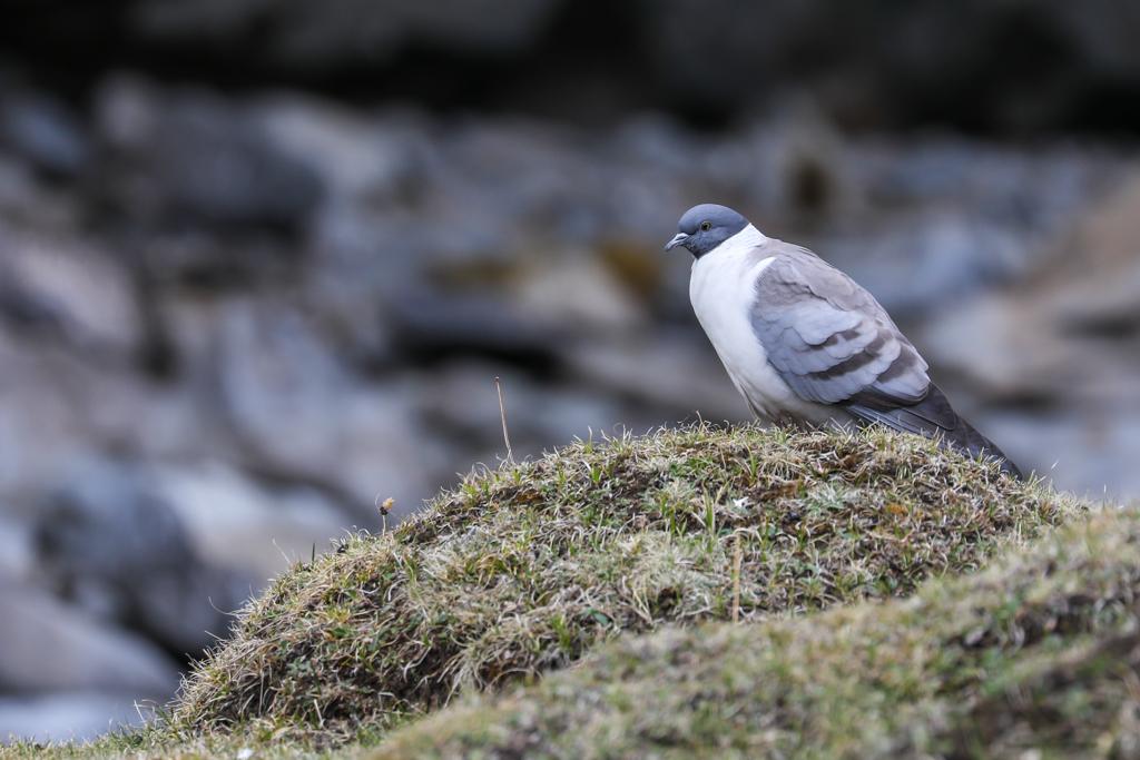 Snow Pigeon near Moska village