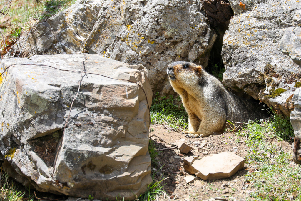 Himalayan Marmot near Moska village