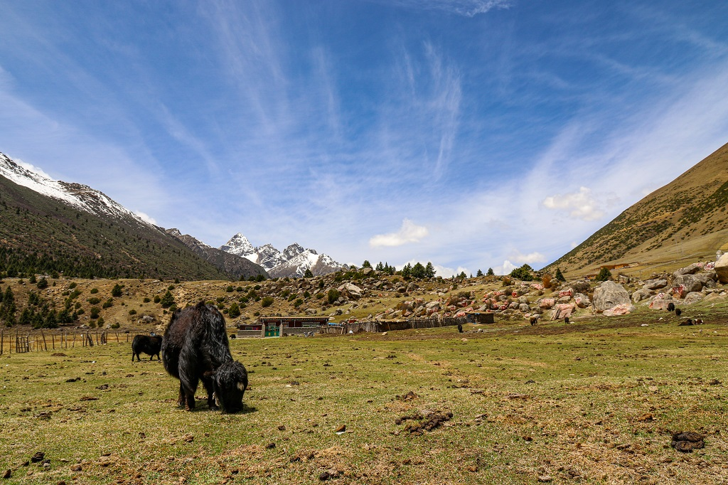 Yaks grazing in front of the house near Yilhun Lha-Tso