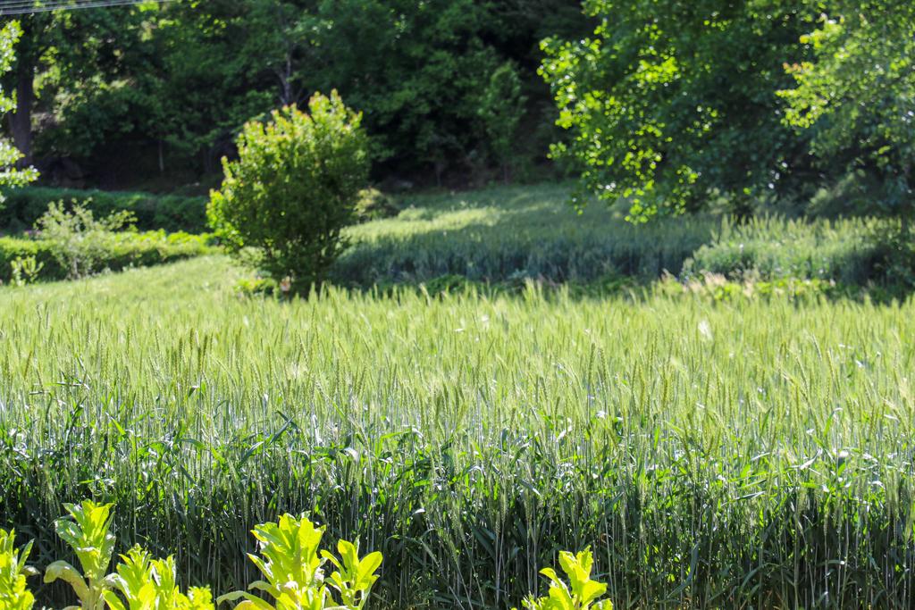 Barley fields in Jiaju village