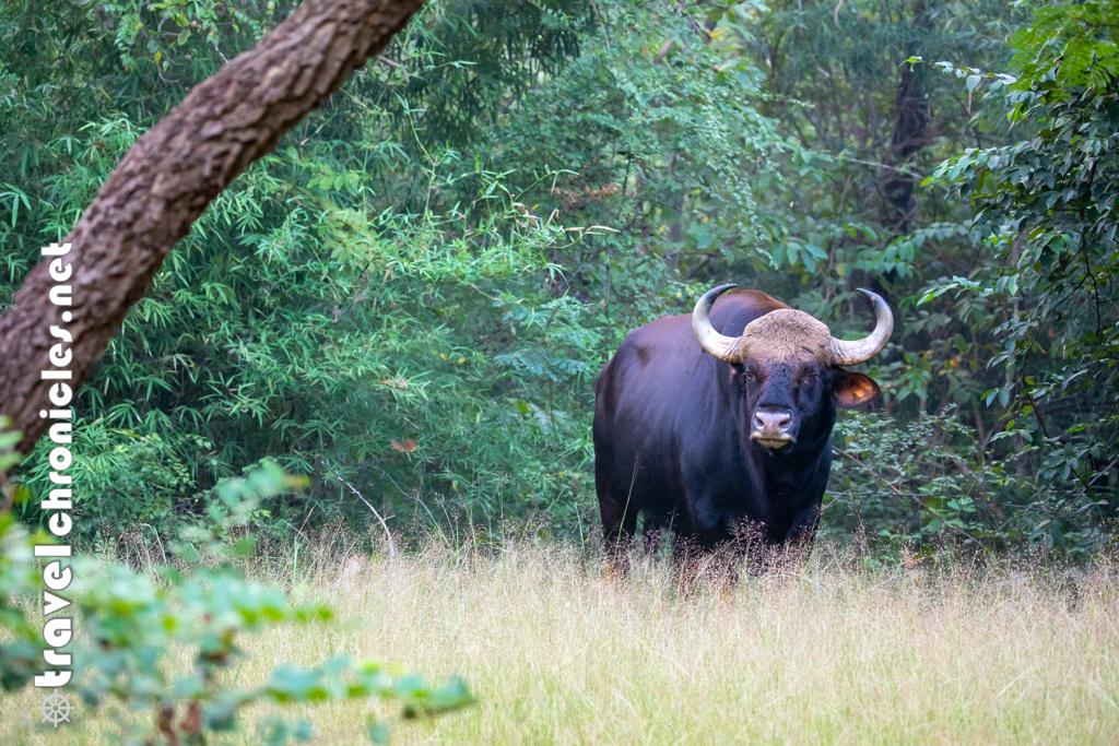Lone Bison inside Kolara Buffer Zone, Tadoba