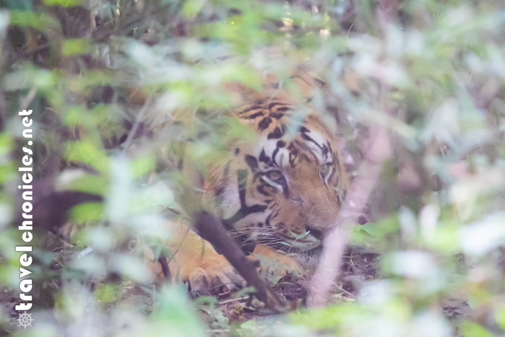 Male tiger resting inside bamboo thickets
