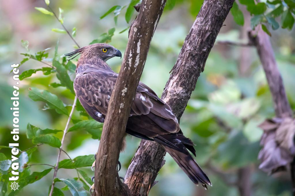 Crested Hawk Eagle inside Pench National Park