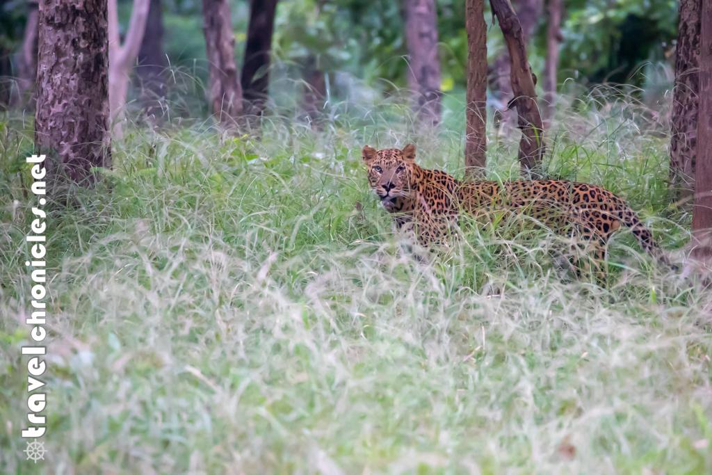 Leopard inside Pench National Park