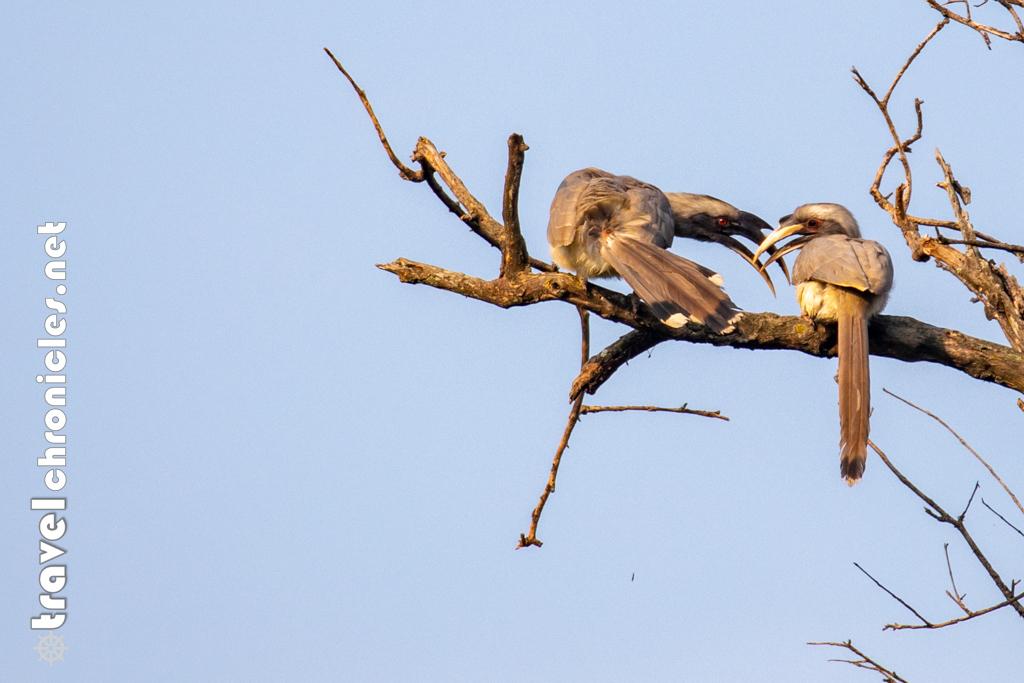 Indian Grey Hornbill inside Pench National Park