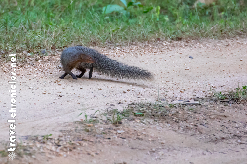 Mongoose inside Pench National Park