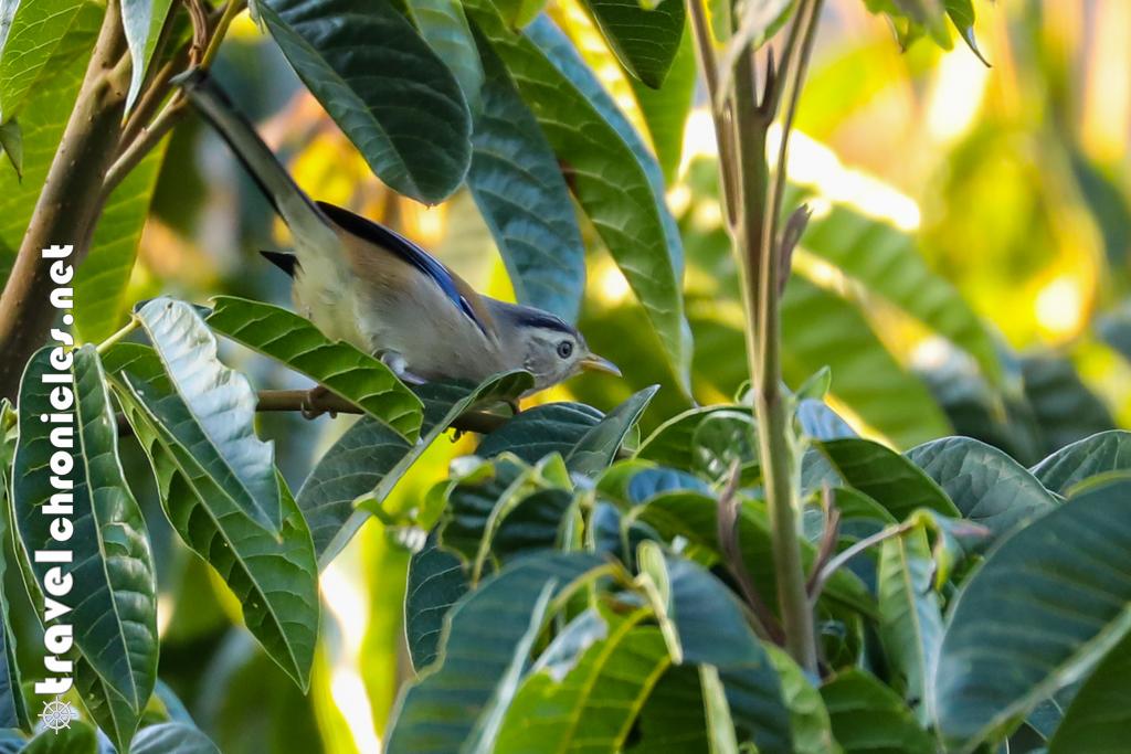 Blue-tailed Minla at Chamong