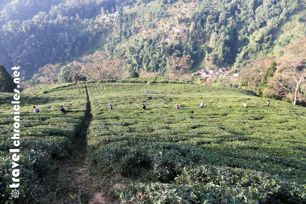 Pruning of tea plants-FV1A2070